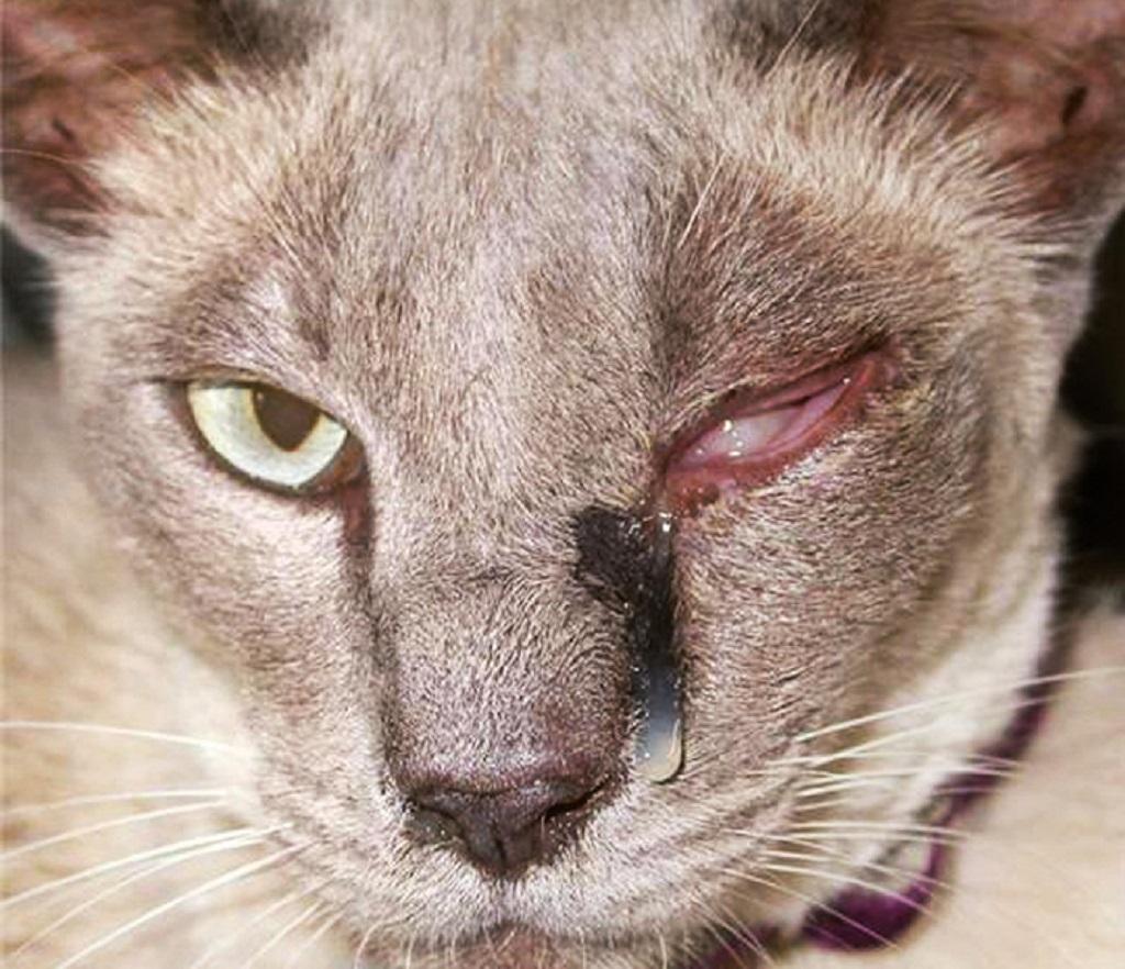 Конъюнктивит у кошек, воспаление слизистой