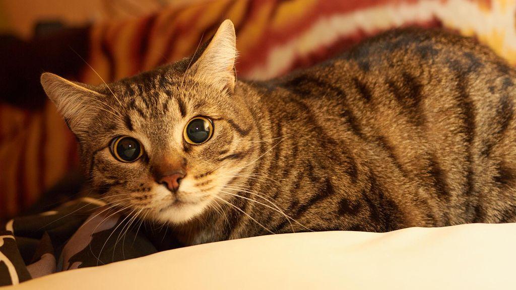 В Скандинавии такая кошка называется шведская домашняя