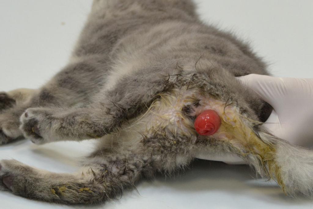 Трех - месячный котенок с выпадением прямой кишки