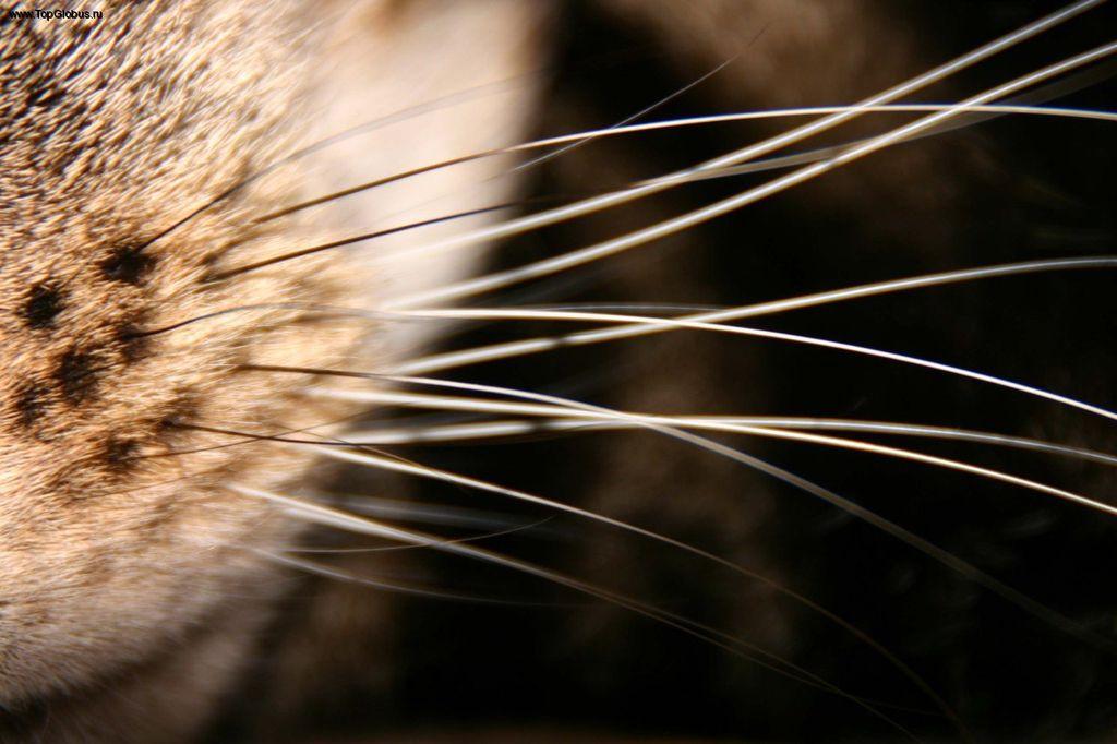Кошачьи вибриссы могут ломаться и выпадать, заменяясь новыми в период взросления котенка