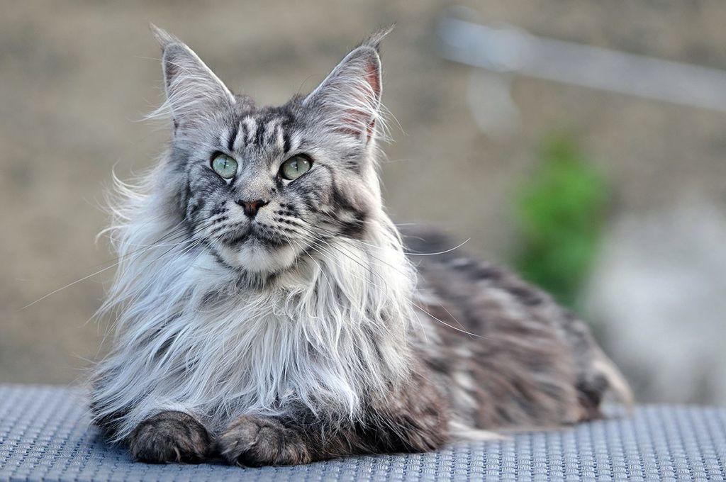 Кошки мейн отличаются уравновешенным характером и покладистым нравом