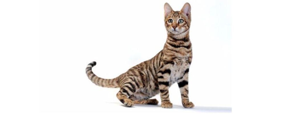 Признаки, симптомы и лечение инсульта у кошек