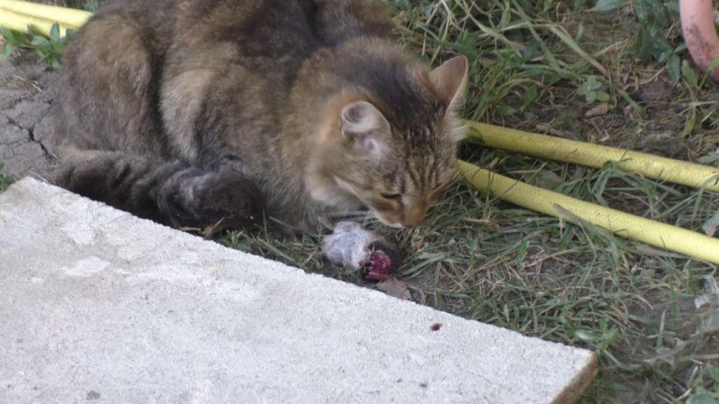 Кошка ест крысу