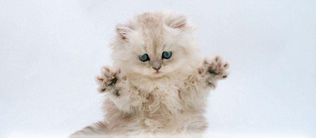 Страшные последствия операции мягкие лапки (удаление когтей) у котов