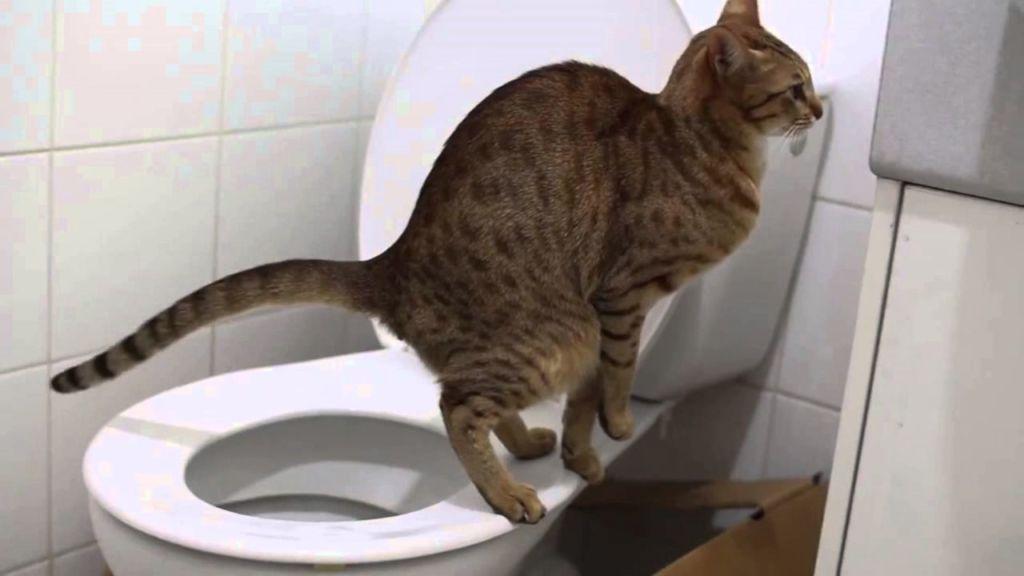 Запор может быть причиной вздутия живота у кошки