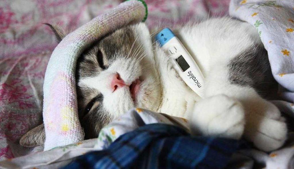Как понять, что кошка заболела и как сбить температуру