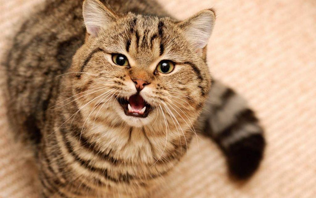 Кот мяукает