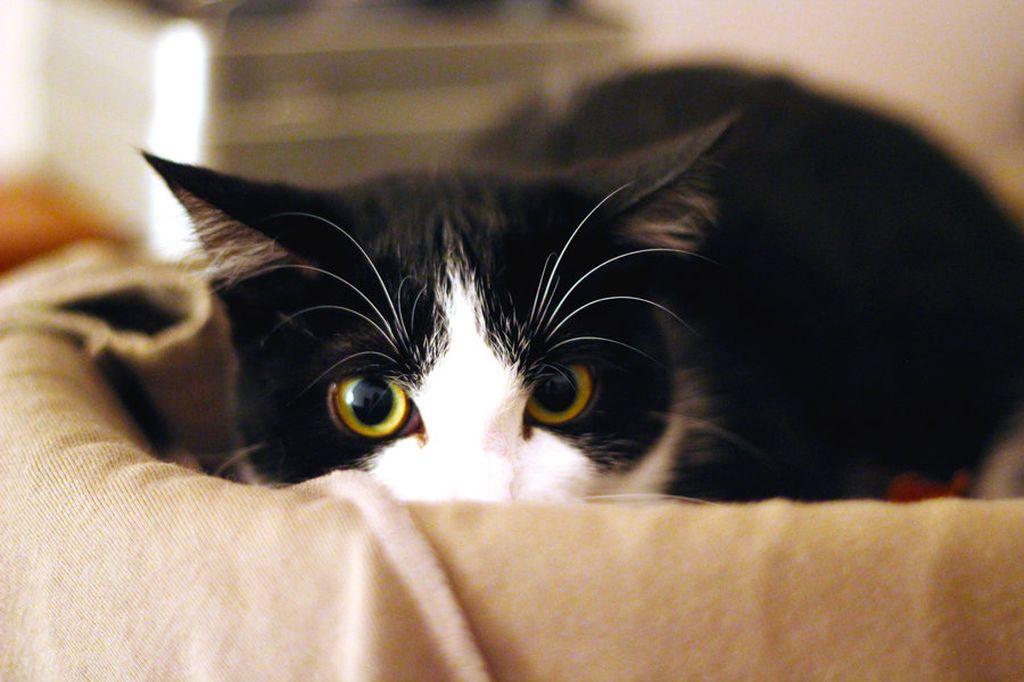 Испытывая страх, кошки издают звуковые сигналы