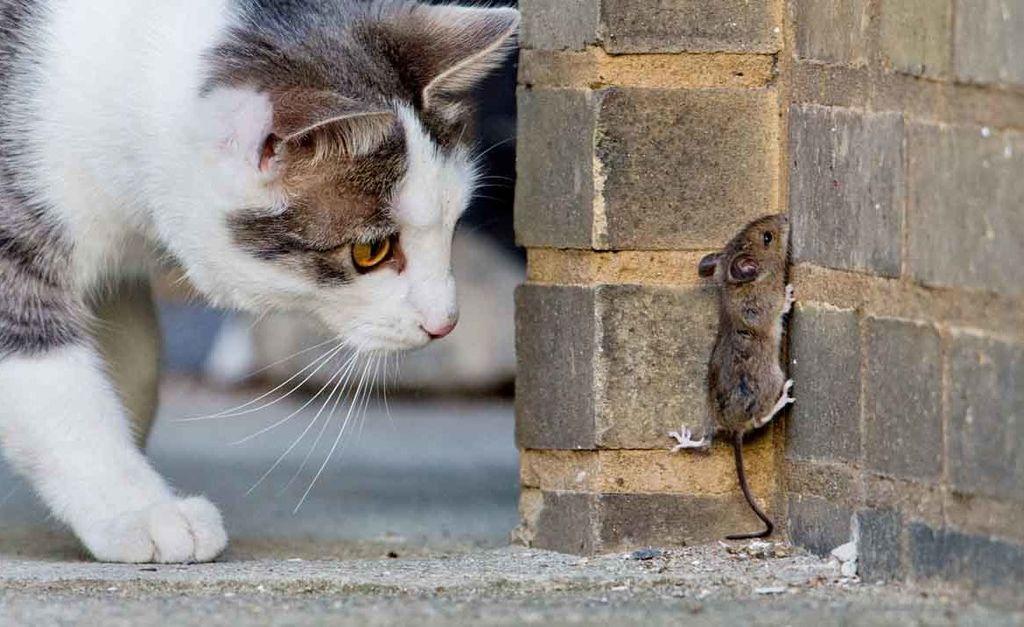Кошка или кот лучше ловит мышей
