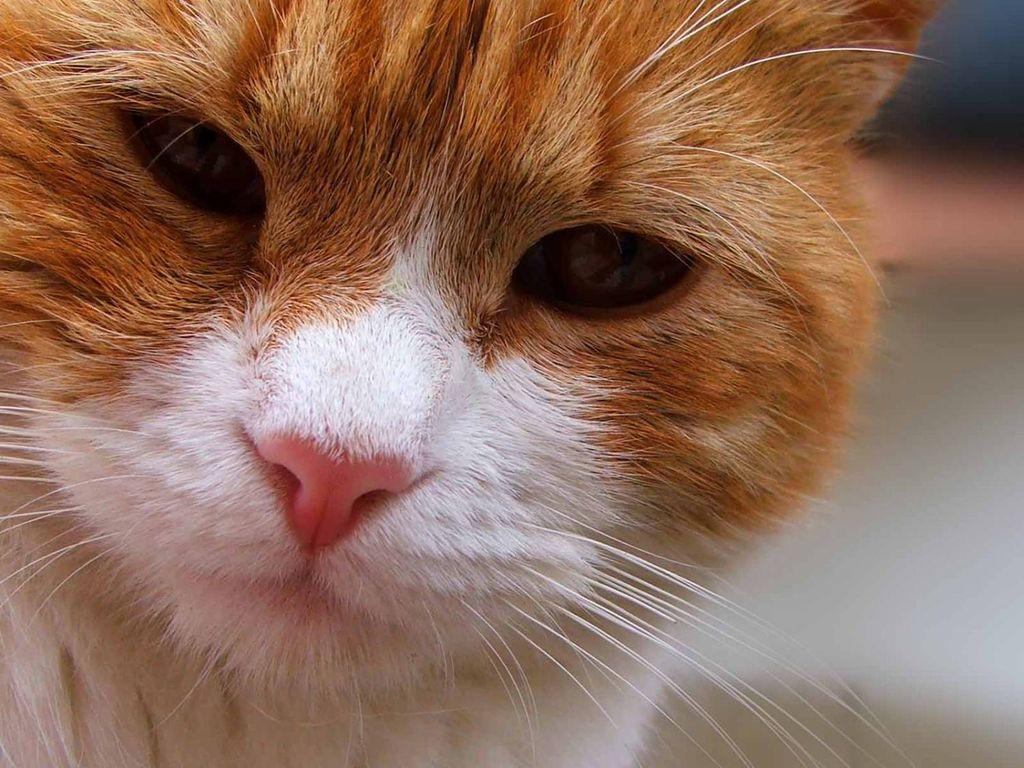 Красный нос у кота свидетельствует о повышенной температуре