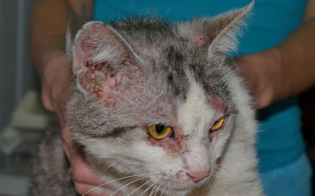 Милиарный дерматит у кошки