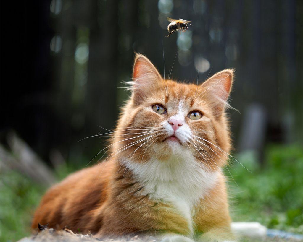 Аллергия на пчелиный яд смертельно опасна для кошки