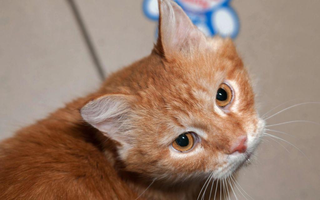Последствия уретростомии у кота и уход после операции