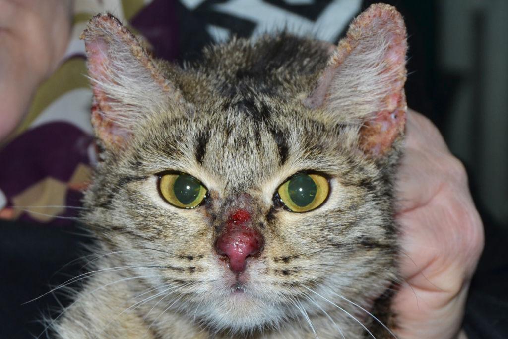 Блошиный дерматит у кошек симптомы лечение