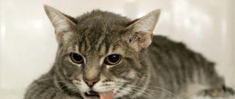 5 причин, почему кошку рвет кормом после еды и лечение в домашних условиях