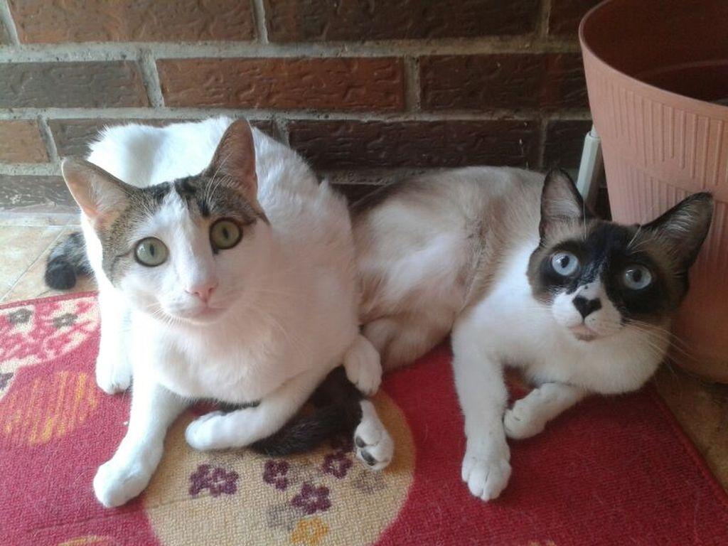 Половое созревание котов и кошек