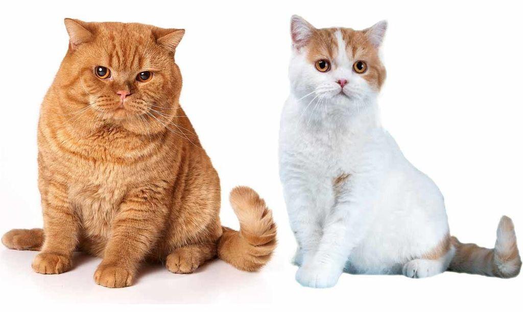 Разница между британскими и шотландскими кошками