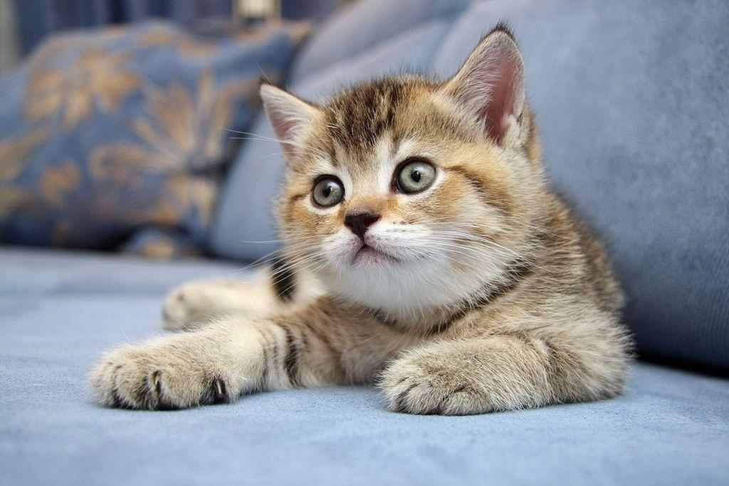 Самым дорогим является шоу-класс котят
