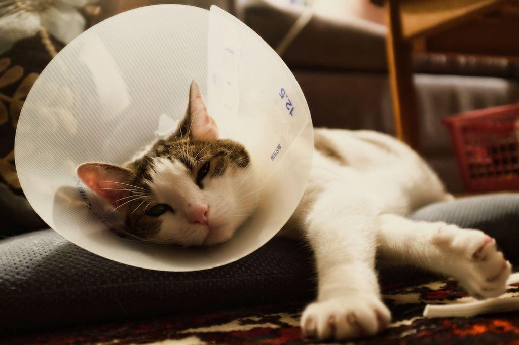 Чтобы кошка не слизывала лекарство используют елизаветинский воротник