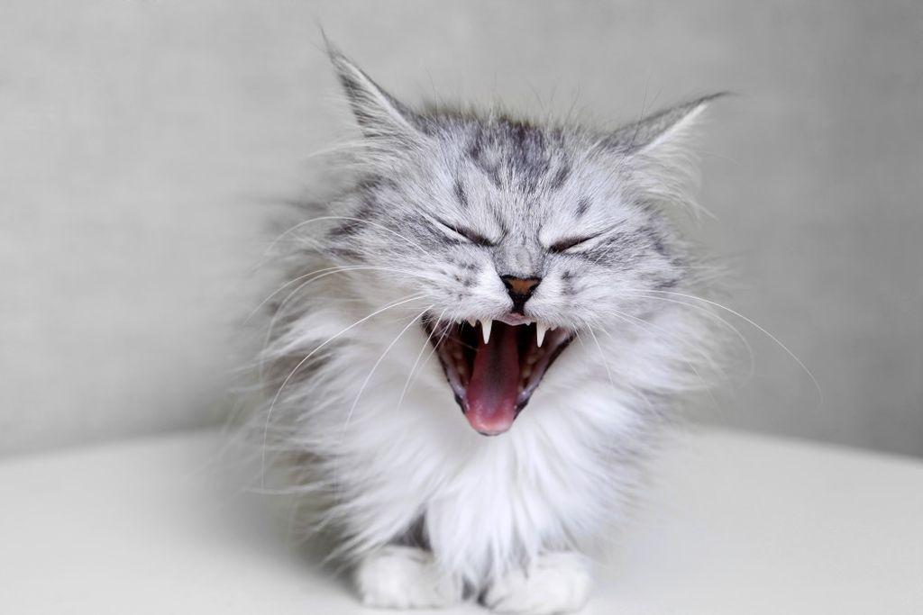 Что делать если кот шипит
