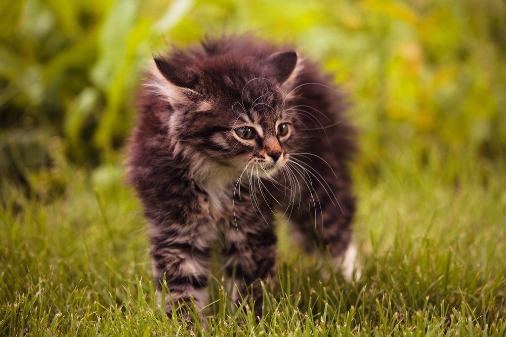При испытывании страха кошка шипит и выгибает спину