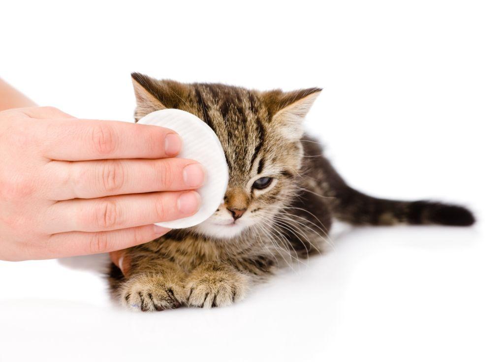 Если из глаз кота часто выделяются слезы, нужно протирать глазки крепко заваренным чаем