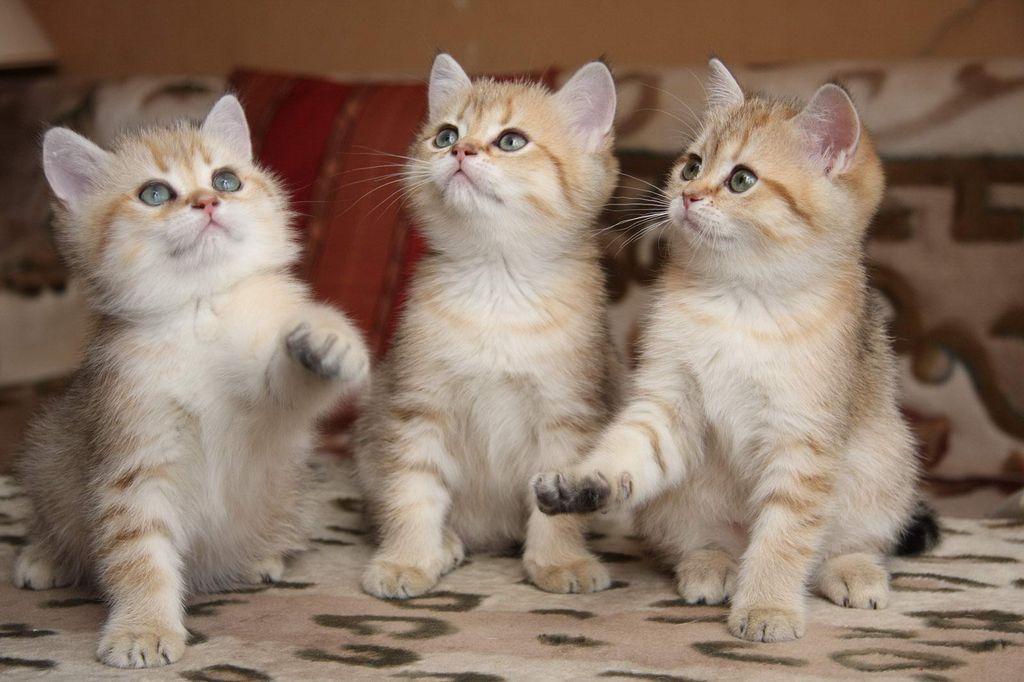 Котята растут примерно до одного года