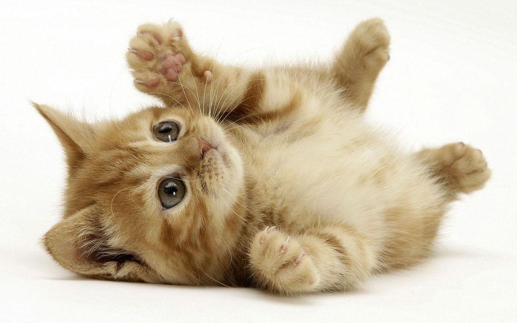 Для перехода на сухой корм котенку должно быть не менее трех месяцев