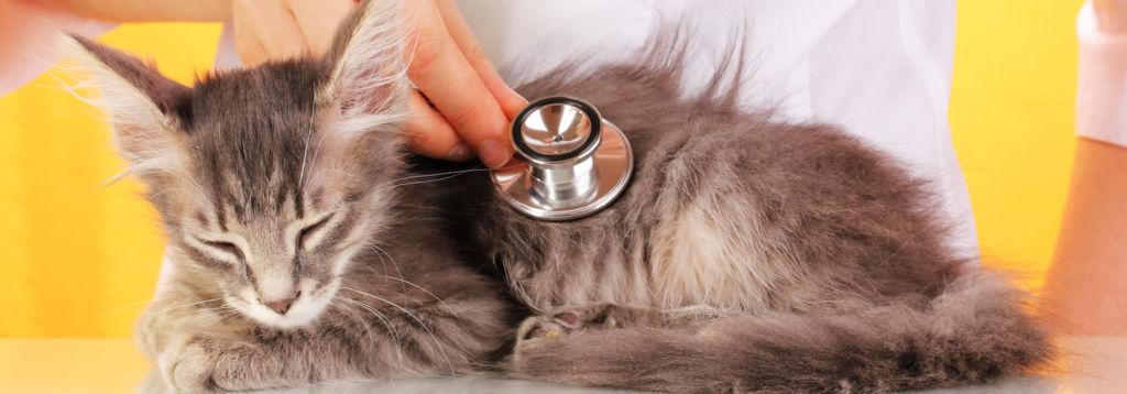Если наблюдается один из симптомов отека легких, незамедлительно нужно обратиться к ветеринару