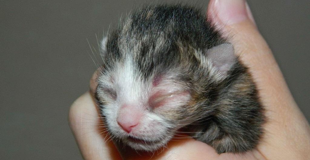 Применение у котят с гнойным конъюктивитом
