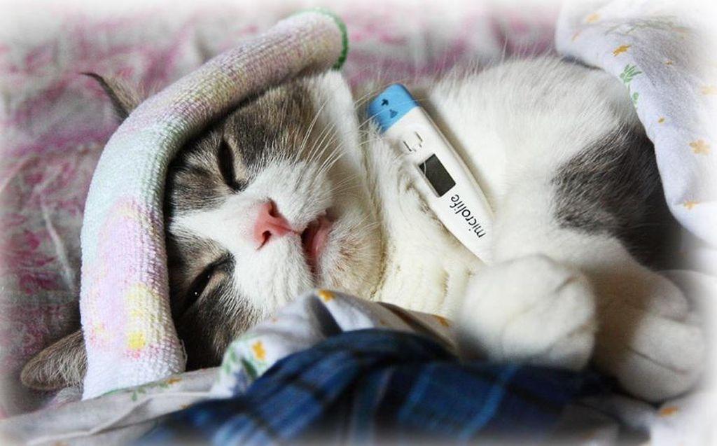 Как измерить температуру тела кошки