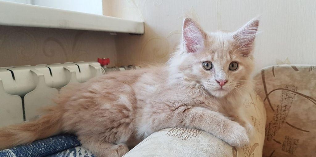 Котенок мейн-кун кремового окраса