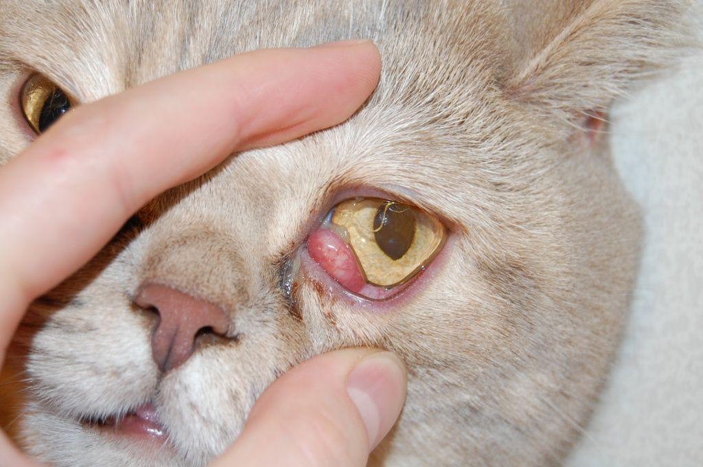 Воспаление возможно вследствие наличия инородного предмета в глазном яблоке кота
