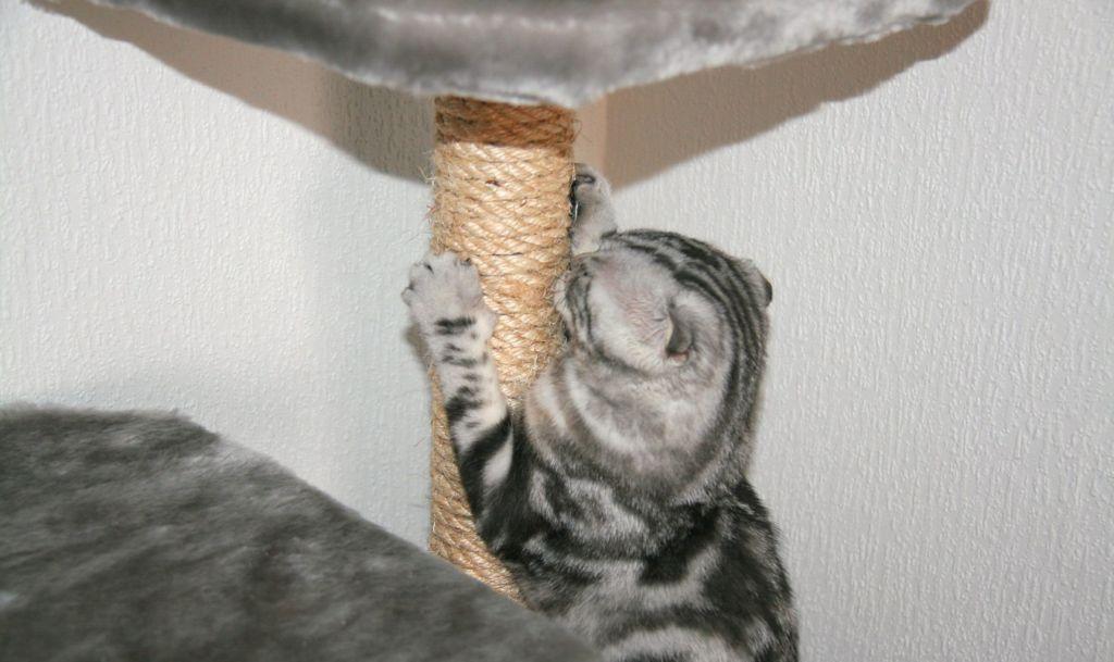 Приучение кошки к когтеточке – это, пожалуй, второй по важности аспект в воспитании домашнего питомца
