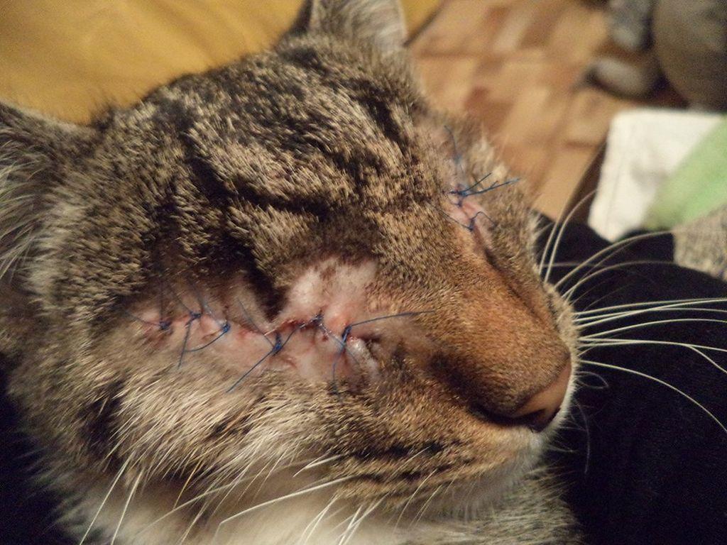 Удаление глаза у кошки