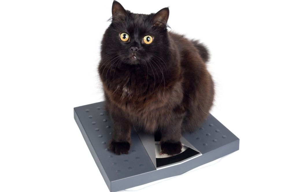 Таблица веса кошек в зависимости от возраста