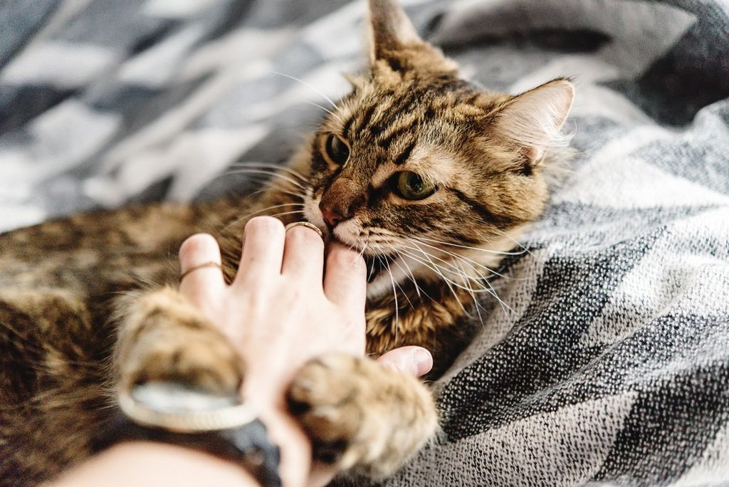 Фелиноз передается от кошки человеку через укусы и царапины
