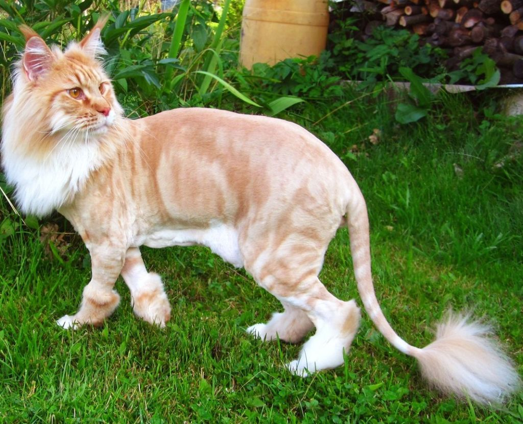 Стрижка кошек картинки