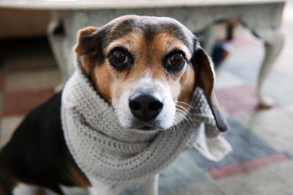 Аденовироз у собак