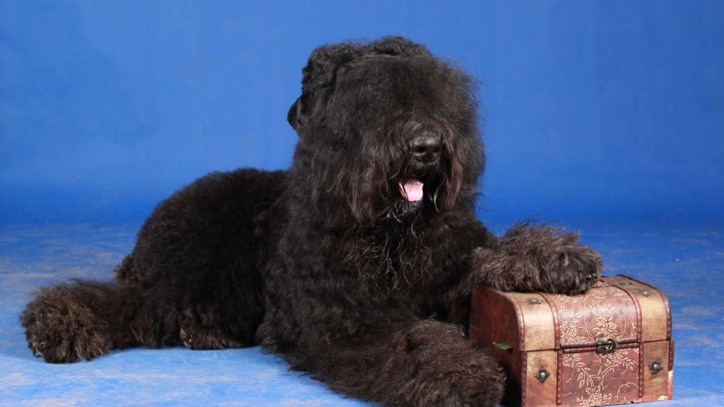 Полное описание породы собак черный терьер (собака Сталина)