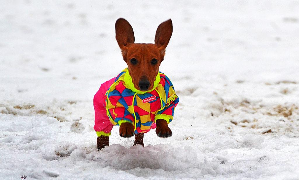 Карликовая такса на снегу в одежде