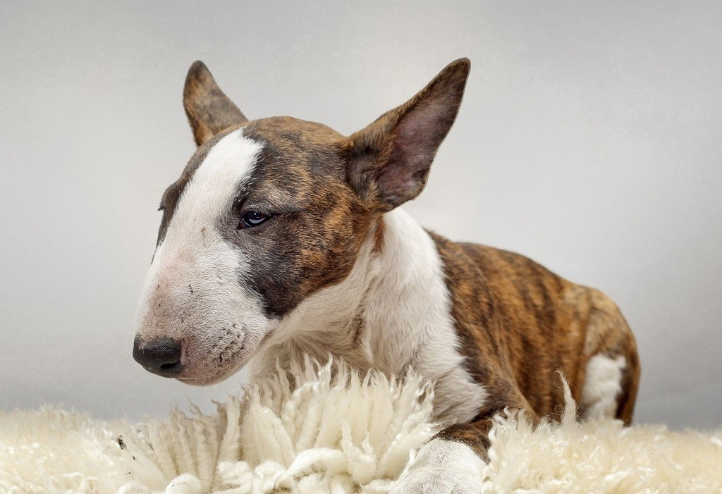 Подробное описание и характеристика породы собак бультерьер