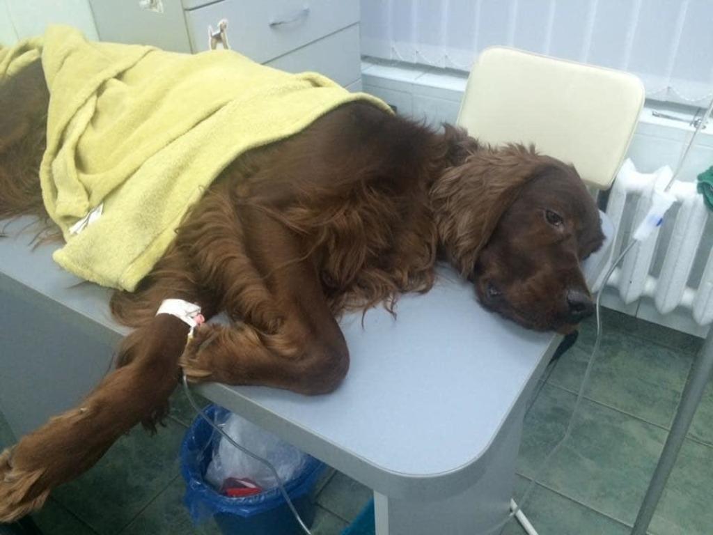 Собака После Отравления На Диете. Чем кормить собаку после отравления?
