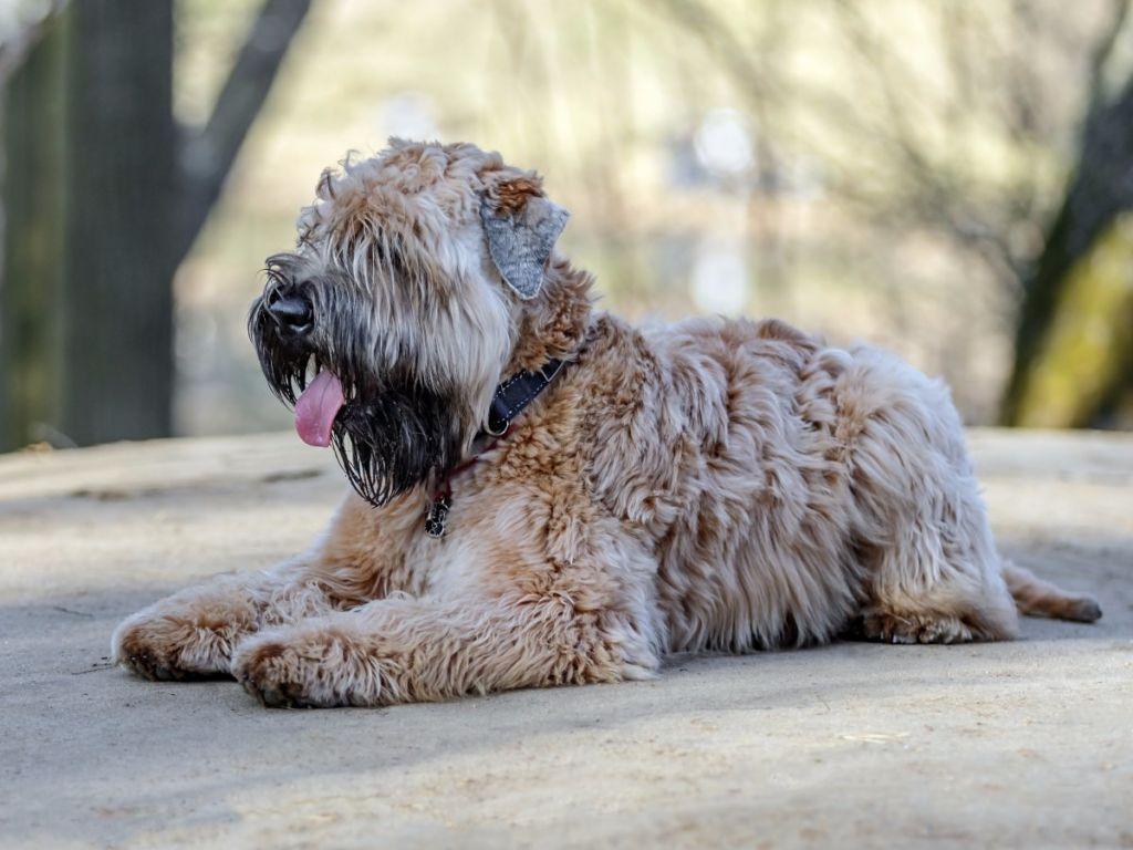 Описание породы собак ирландский пшеничный терьер