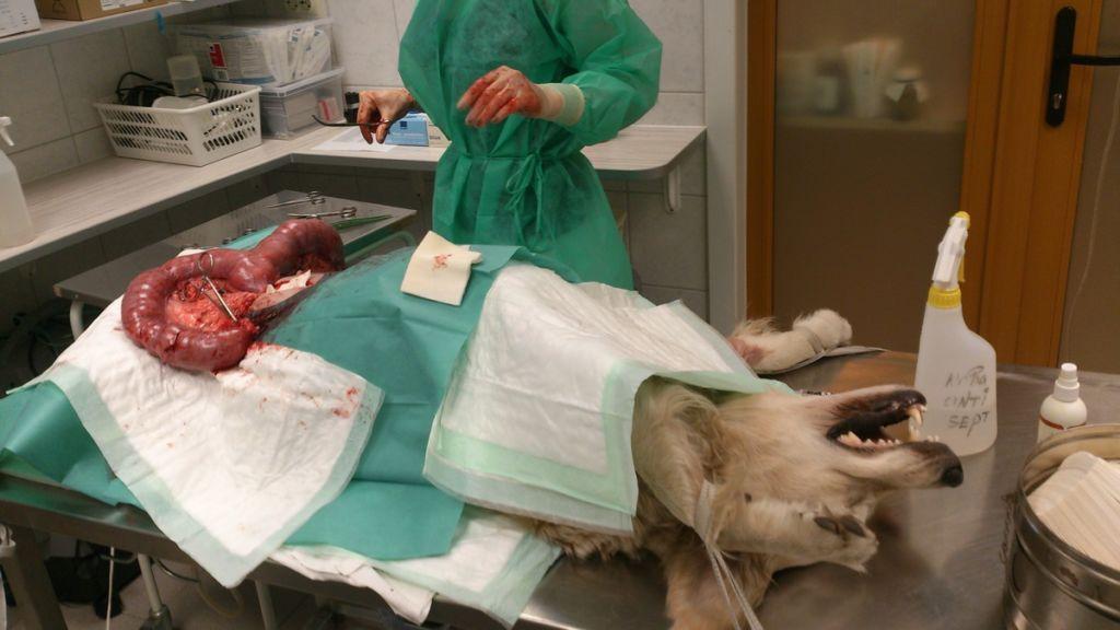 Основные симптомы и лечение пиометры у собак