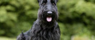 Собака породы Скотч терьер