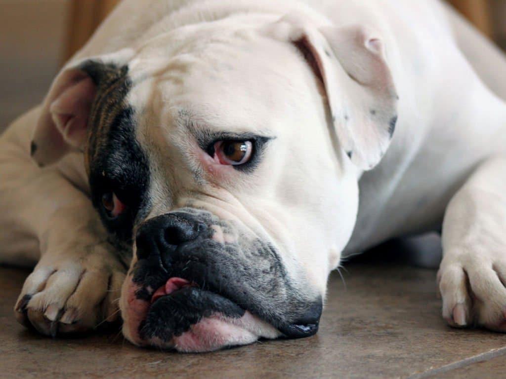 Подробное описание породы собак американский бульдог