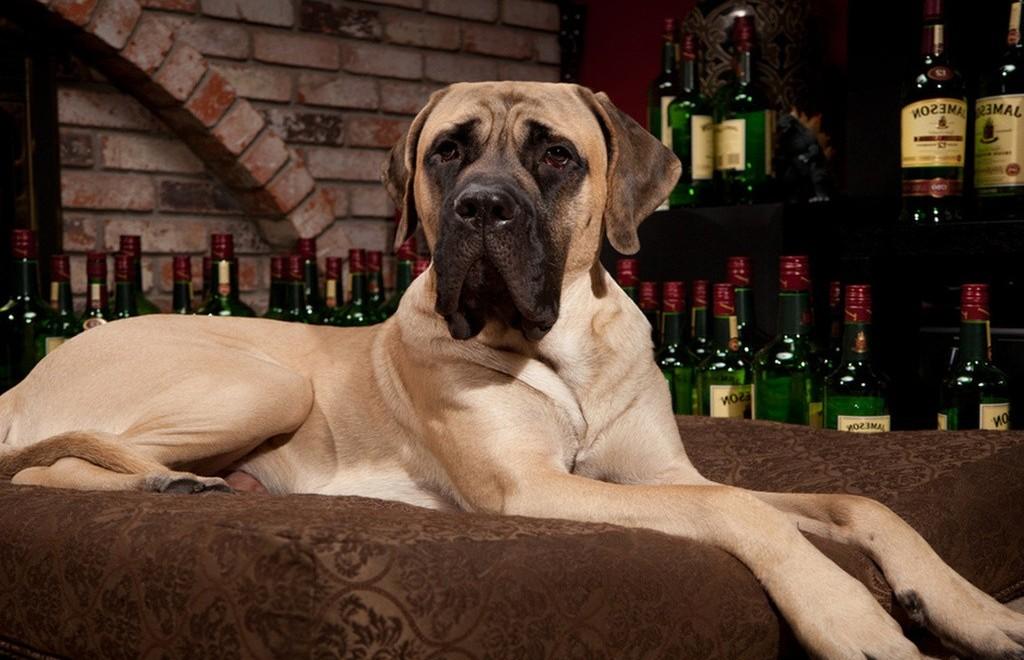 Характеристика породы собак английский мастиф и какие бывают