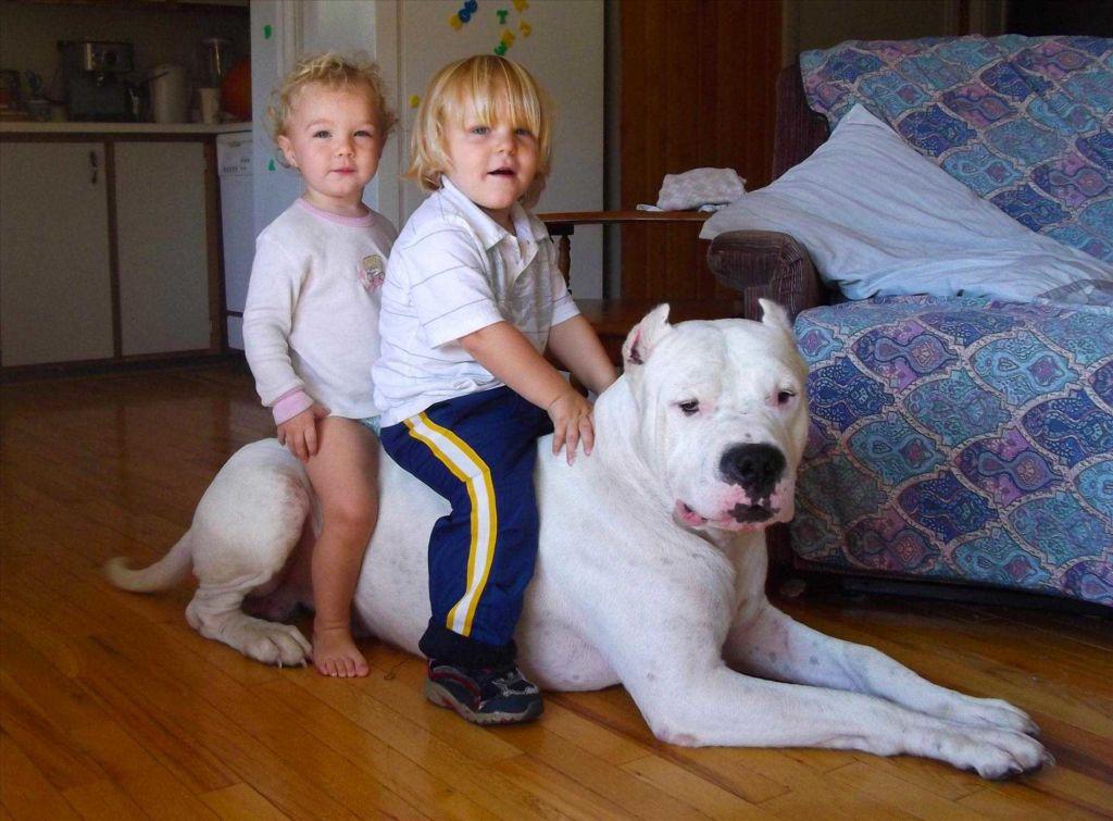 Аргентинский дог прекрасно относится ко всем членам семьи, в том числе и к детям