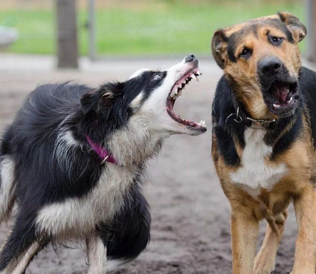 Болезнь ауески у собак